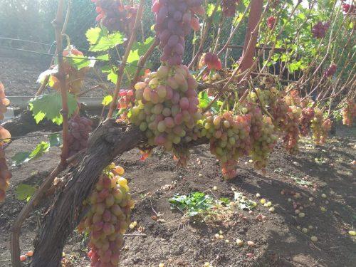 Сорта винограда среднего срока созревания