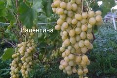Виноград среднепозднего срока созревания