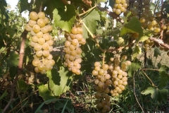 Винный,технический виноград